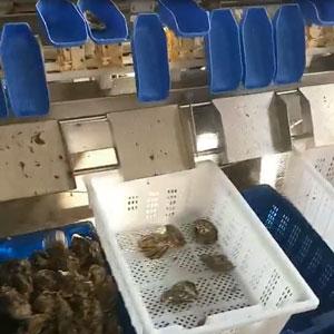 牡蛎重量分选机